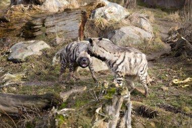 anxious  Striped Hyaena, Hyaena Hyaena, to fight