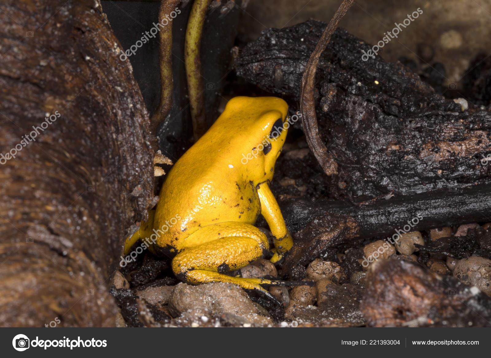 golden poison frog phyllobates terribilis probably most poisonous