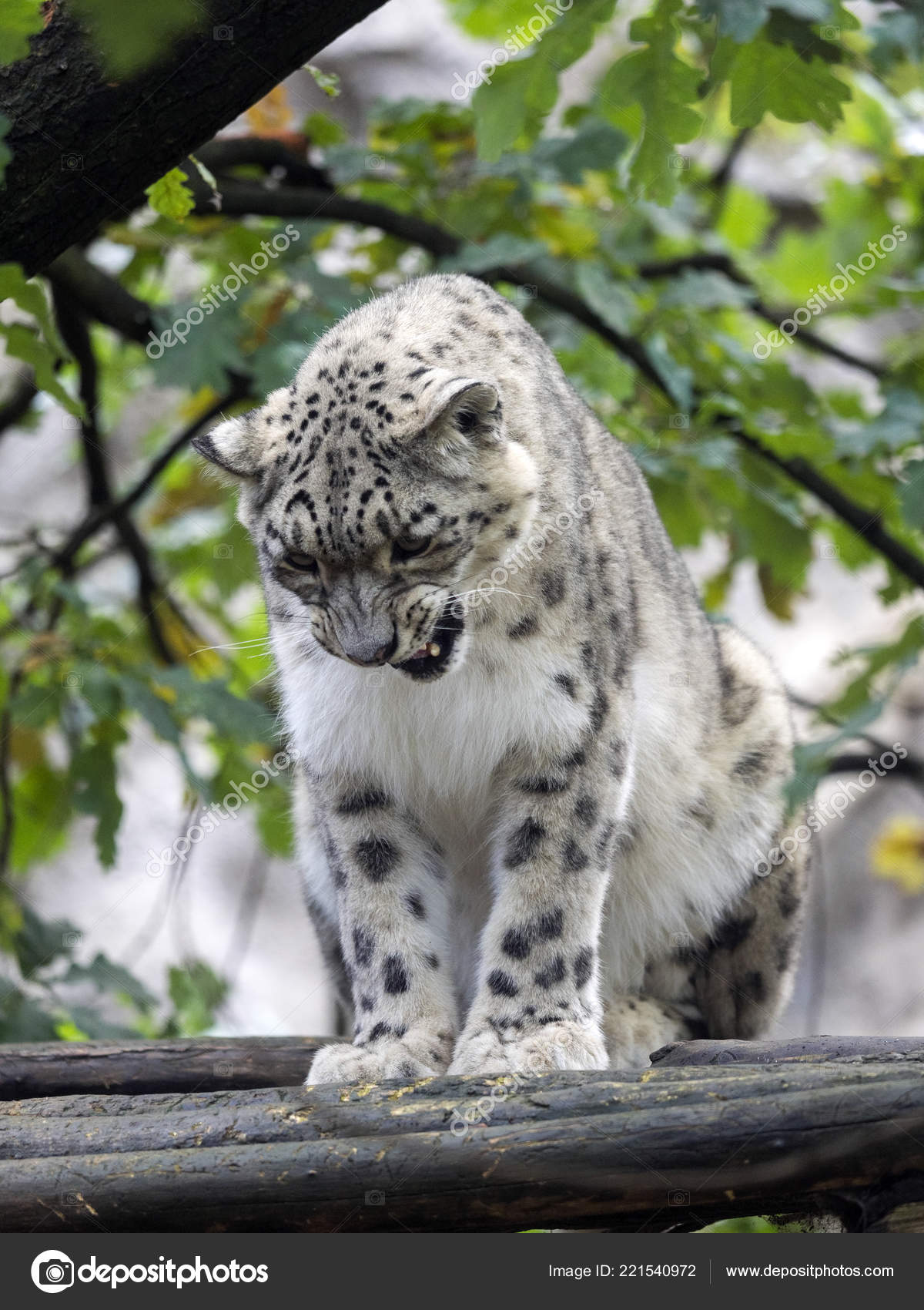 Snow Leopard Uncia Ucia Hidden Branches Stock Photo C Jirousek Zoo