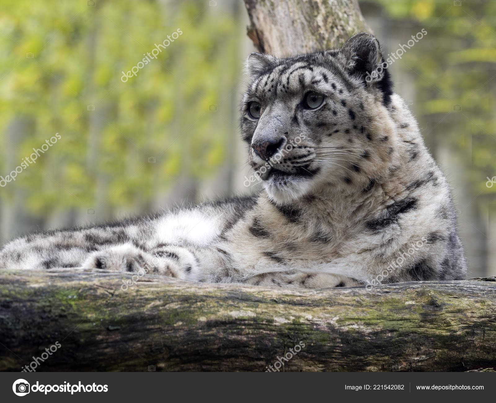 Snow Leopard Uncia Ounce Lies Raised Branch — Stock Photo