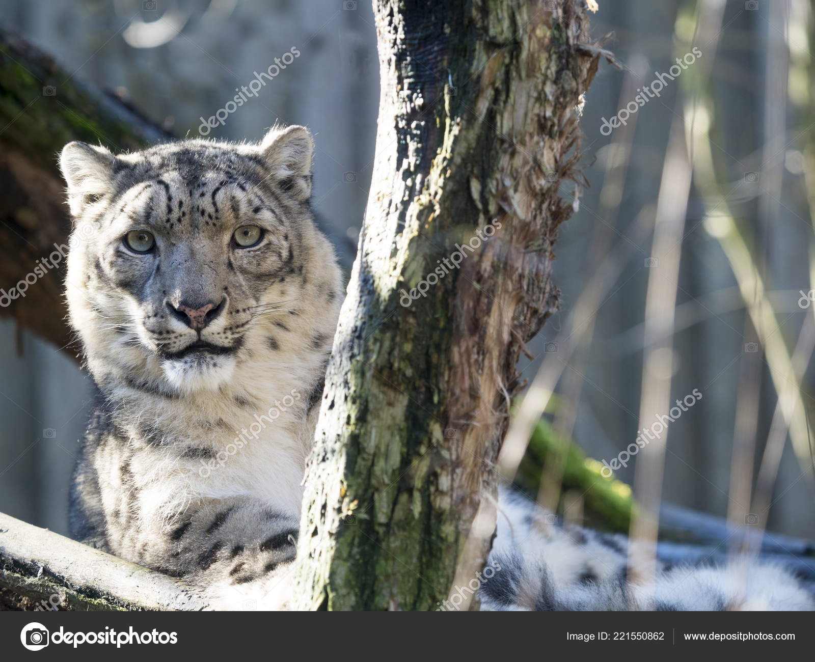 Snow Leopard Uncia Uncia Watches Surroundings — Stock Photo