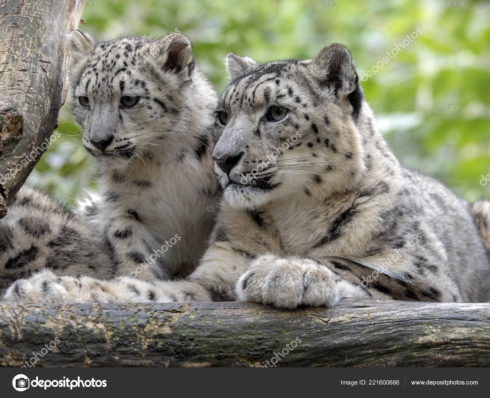 Snow Leopard Uncia Ounce Female Chicks — Stock Photo