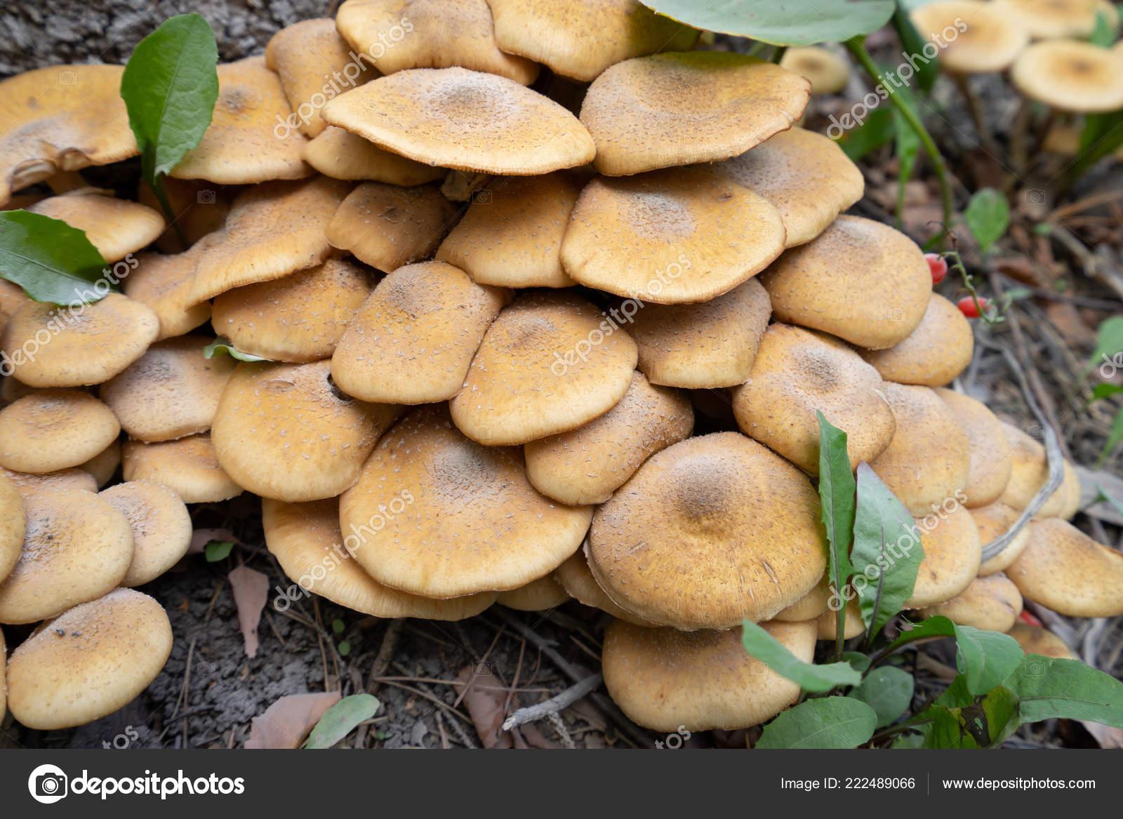 Beliebt Bevorzugt Pilze Garten — Stockfoto © logaleks@outlook.com #222489066 &FV_99