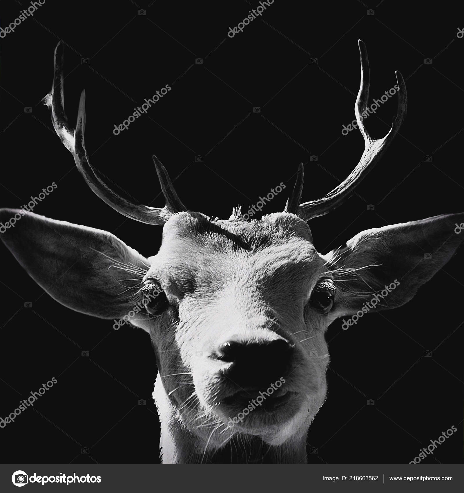Black and white high contrast animal art portrait of a goat isolated in shadows