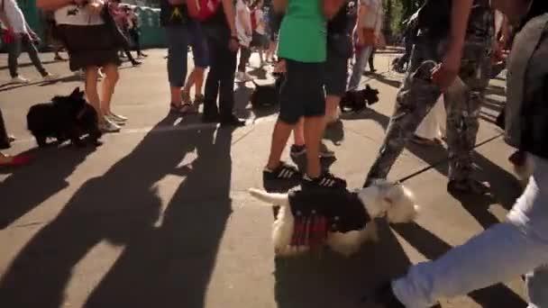 pes, Jorkšírský teriér, mnoho psů