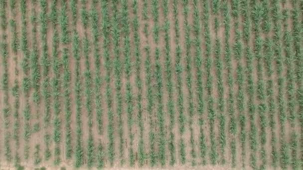 A légi felvétel a cukornád