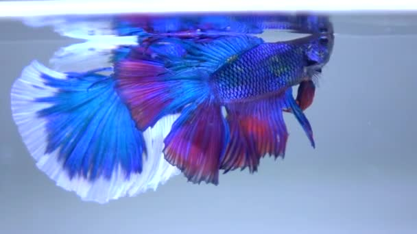 Siamese Fighting Fish swimming in the water
