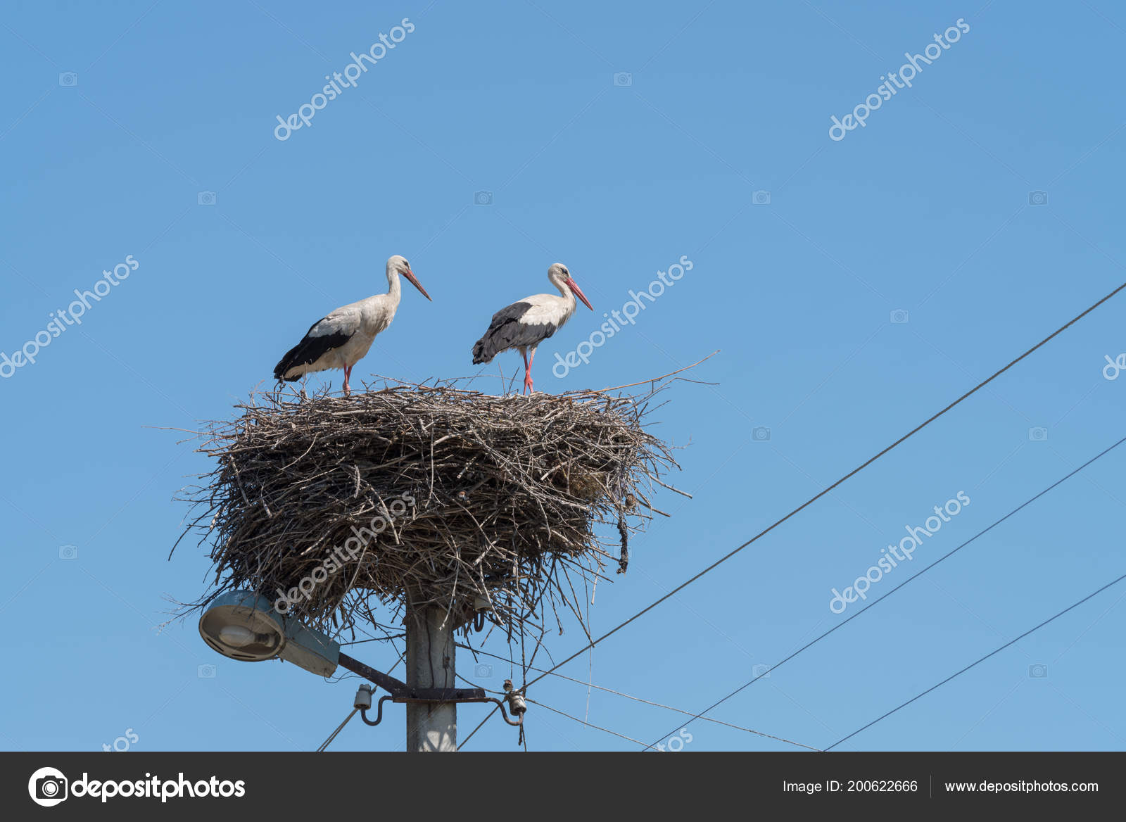 White Storks Ciconia Ciconia Couple Standing Nest Top Electric Pole