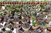 Különböző különböző kaktuszok cserépben. Pozsgás növények