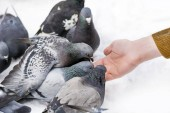 Fotografie Feeding Pigeons from Hands at winter