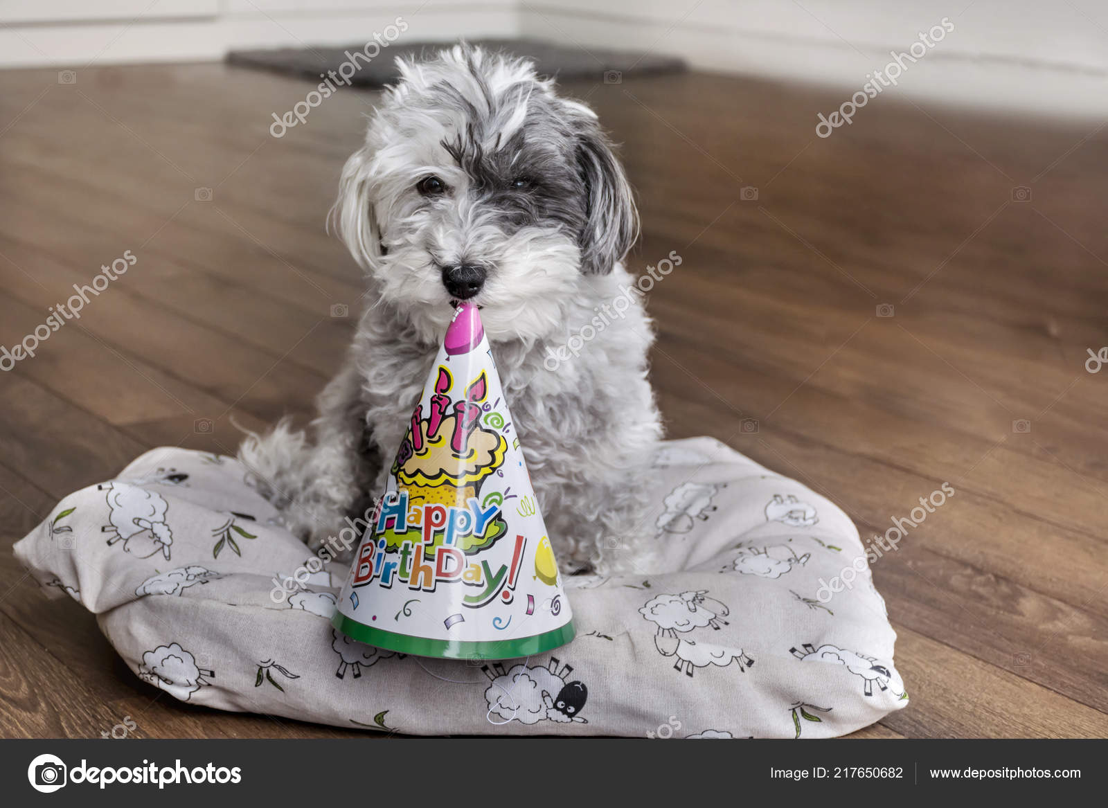 Poodle Dog Birthday Hat Mouth Stock Photo
