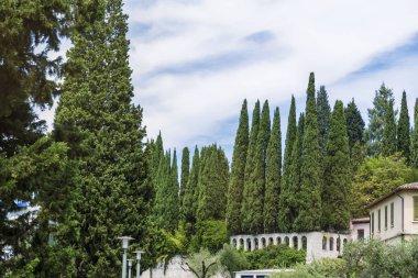 Italian Cypress Evergreen Trees .Green Pine Trees in Italy . stock vector