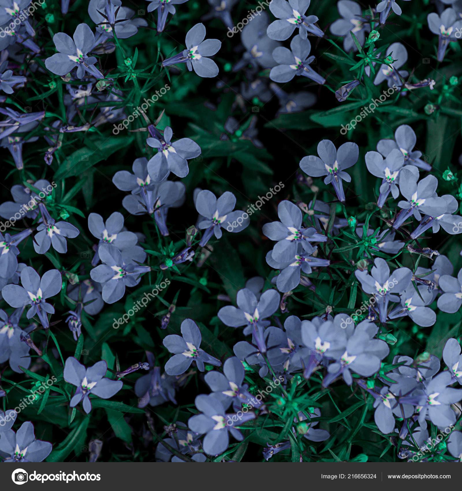 Small Blue Flowers Beautiful Many Climbers Ground Stock Photo Image By C Joyfit 216656324