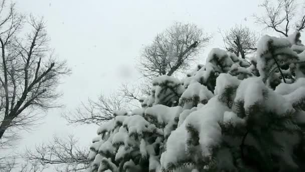 snow fir, snowfall with a close-up, Christmas look