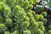 Zelené stonky Rhodiola rosea v jaře, detail