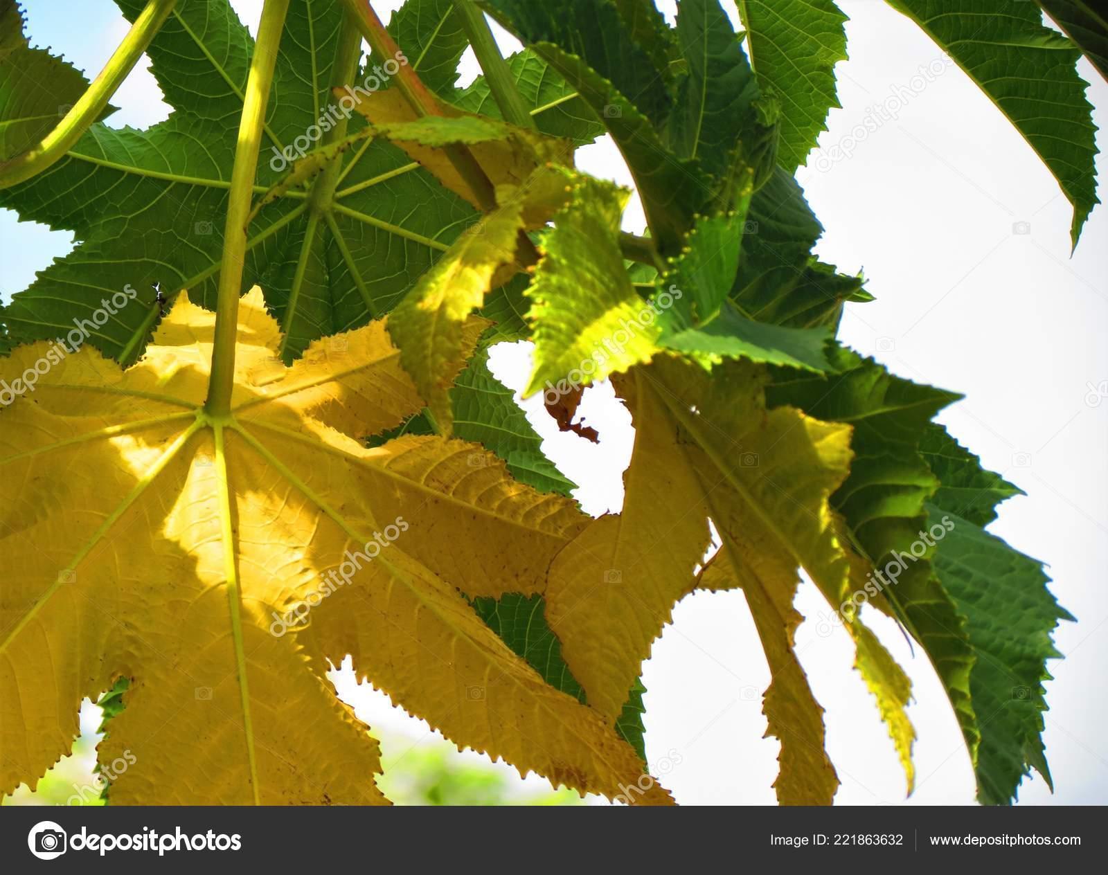 Leaves Ricinus Communis Castor Oil Plant Euphorbiaceae Stock Photo C Argru 221863632