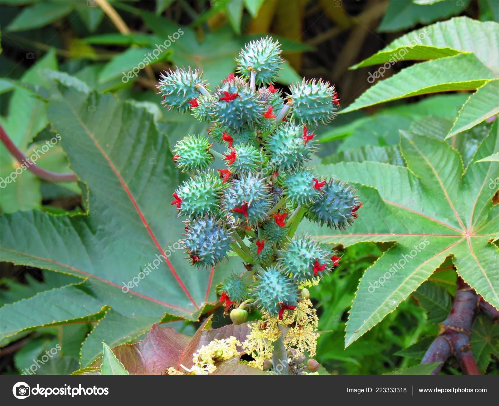 Ricinus Communis Castor Oil Plant Flowering Plant Euphorbiaceae Stock Photo C Argru 223333318