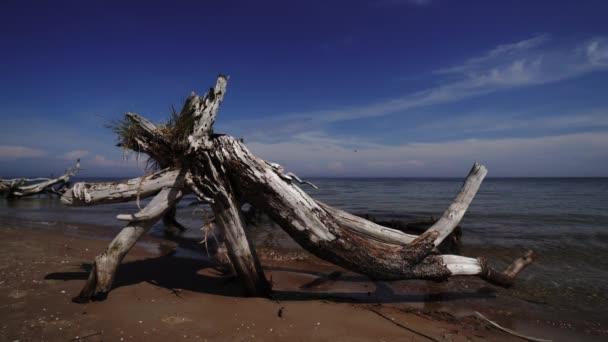Halott fenyőfa a beach cape Kolka, a Balti-tenger, Lettország
