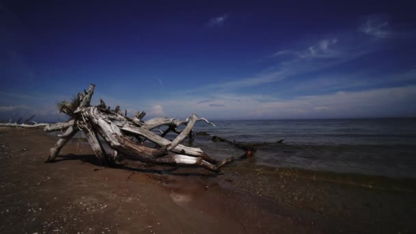 tote Kiefer am Strand Kap Kolka, Ostsee, Lettland