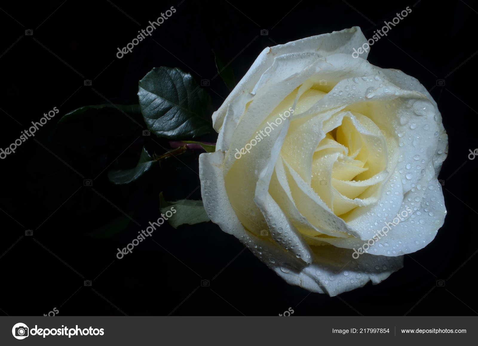 Bianco Aumentato Con Gocce Rugiada Bella Rosa Bianca Con Gocce