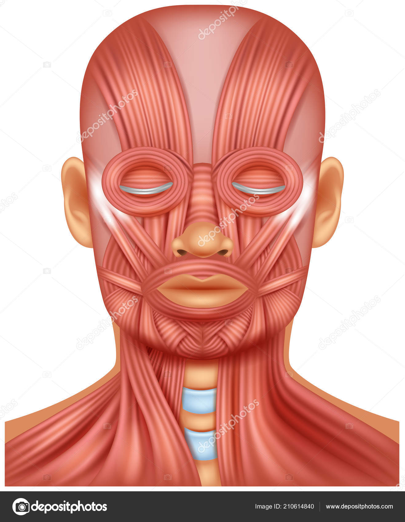Vector illustration human head muscle vetores de stock tigatelu vector illustration human head muscle vetores de stock ccuart Gallery