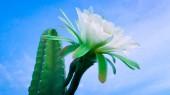 gyönyörű virágok egy hagyományosan brazil kaktusz, mandacaru, közös kaktuszok caatinga Életközösség, és szolgálja az élelmiszer az emberek és az állatok és a díszítés