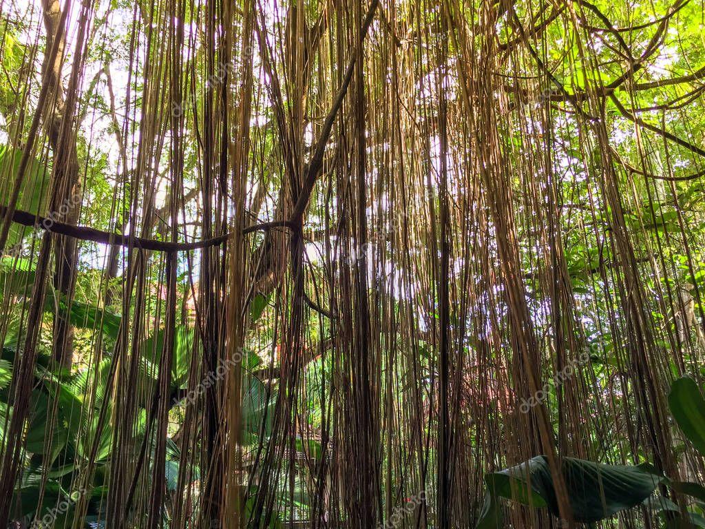 Roots of the Ficus benjamina in the garden