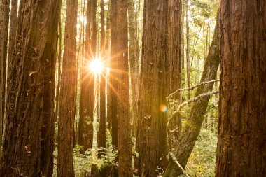 Early morning sunlight between trees in a redwood forest in California