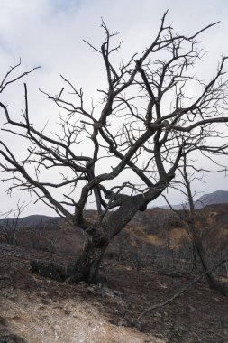Large burned oak tree in landscape damaged by the Thomas Fire along Highway 33 in Ojai, California