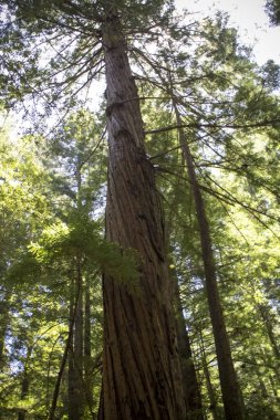 Twisted coast redwood tree dwarfs nearby trees in a forest
