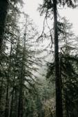 Verde foresta densa e alberi con muschio nella foschia magico sfondo