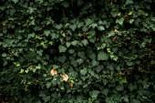 Fotografia parete di edera comune. Concetto di fondo o struttura