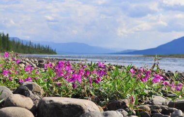 Flowers of fireweed on the cobblestones by the river. Summer landscape on the Putorana plateau, Taimyr, Russia.