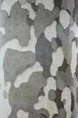 Natural grey camouflage pattern of tree bark. Vertical closeup background texture.