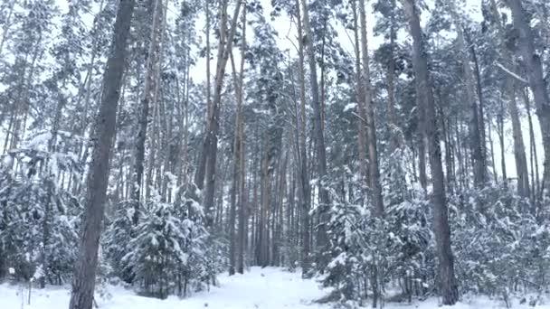 délután a drone, a havas erdőben fenyőfák közelében a repülés