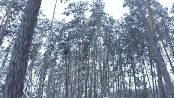 let na DRONY poblíž borovic v zasněženém lese v odpoledních hodinách