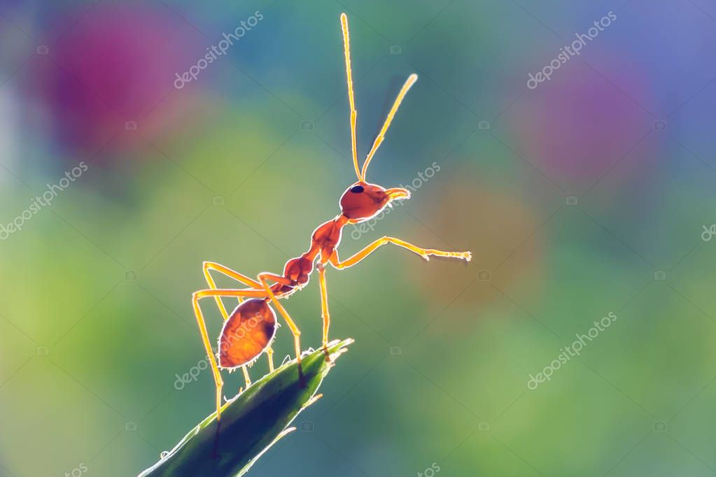 Ants or Oecoephylla smaradgina