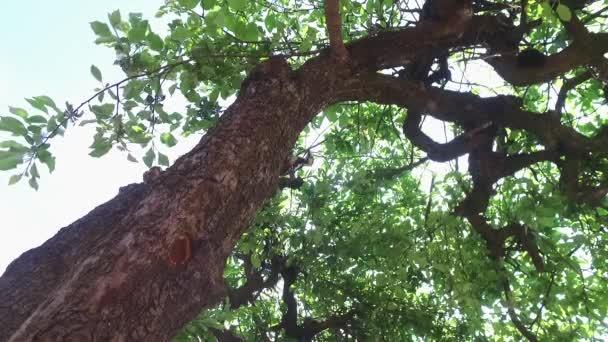 Dřevorubec během dne na jabloni na jaře se blíží a opouští hnízdo, které si sám vyrobí.