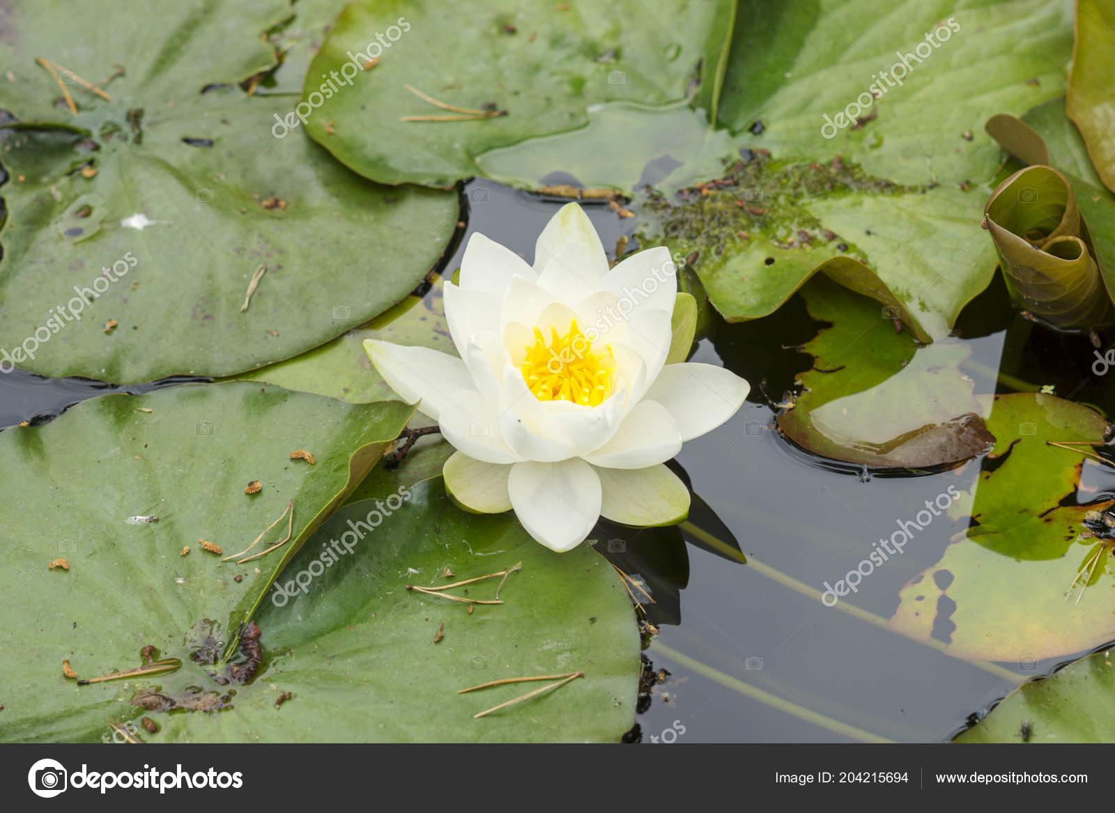 Beautiful White Lotus Flower Lake Stock Photo Fraenks 204215694