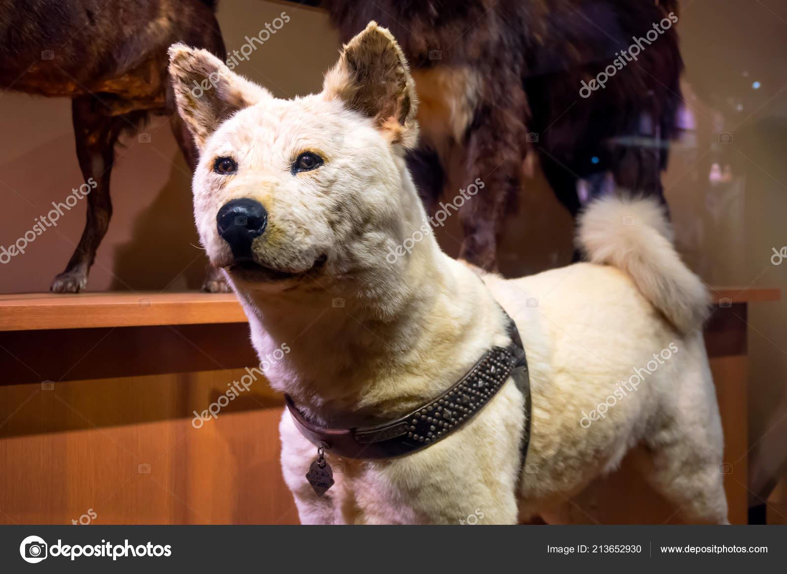 Hachiko Hund
