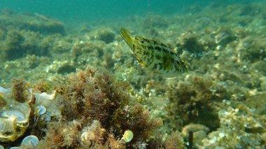 Five-spotted wrasse (Symphodus roissali) undersea, Mediterranean Sea, Cape of Antibes, France