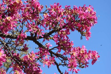 Pink flowers of a tree called Palo Borracho