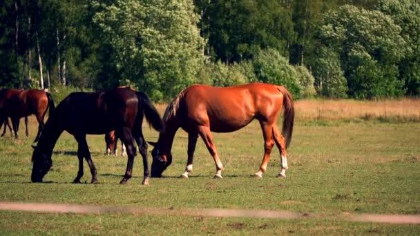 Koně se pasou a žerou trávu na zelené louce na farmě