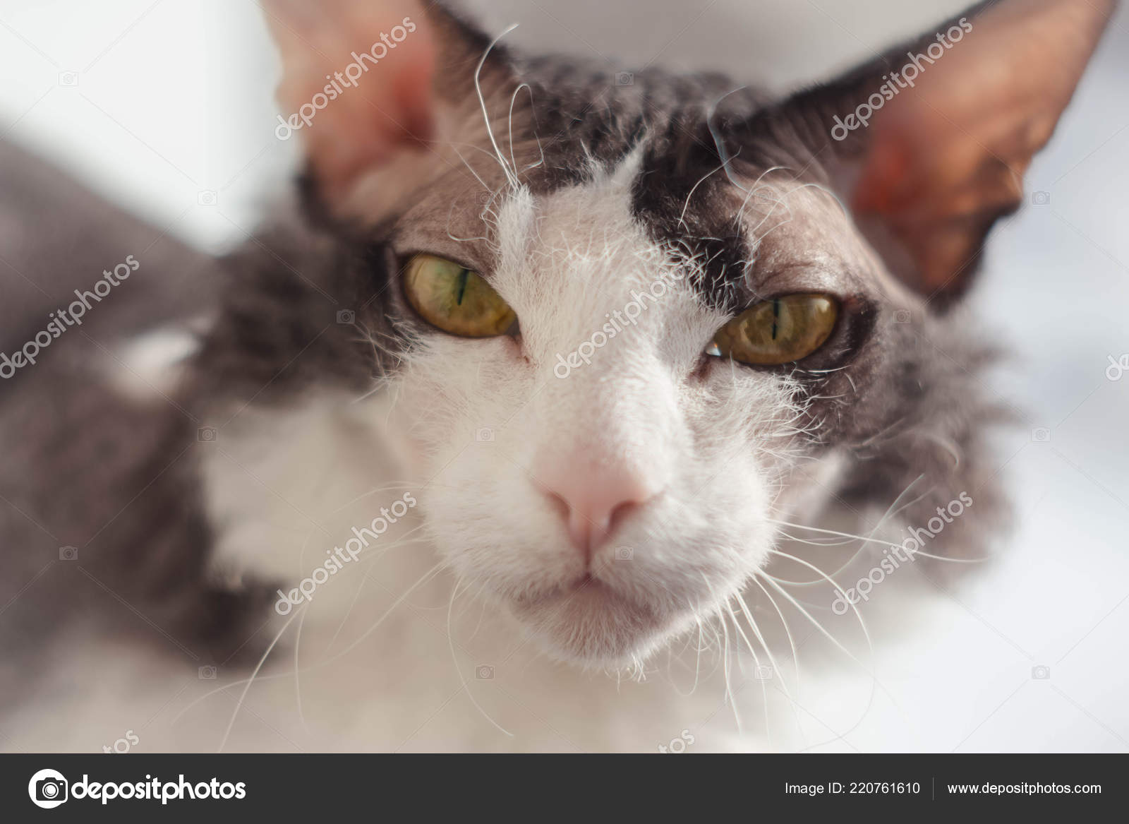 Don Sphynx Brash Cat Big Ears Eyes Background Homely Blurred