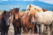 Lovak Izlandon. Vadlovak egy csoportban. Lovak a Westfjordon Izlandon. Összetétel vadállatokkal. Utazás - kép