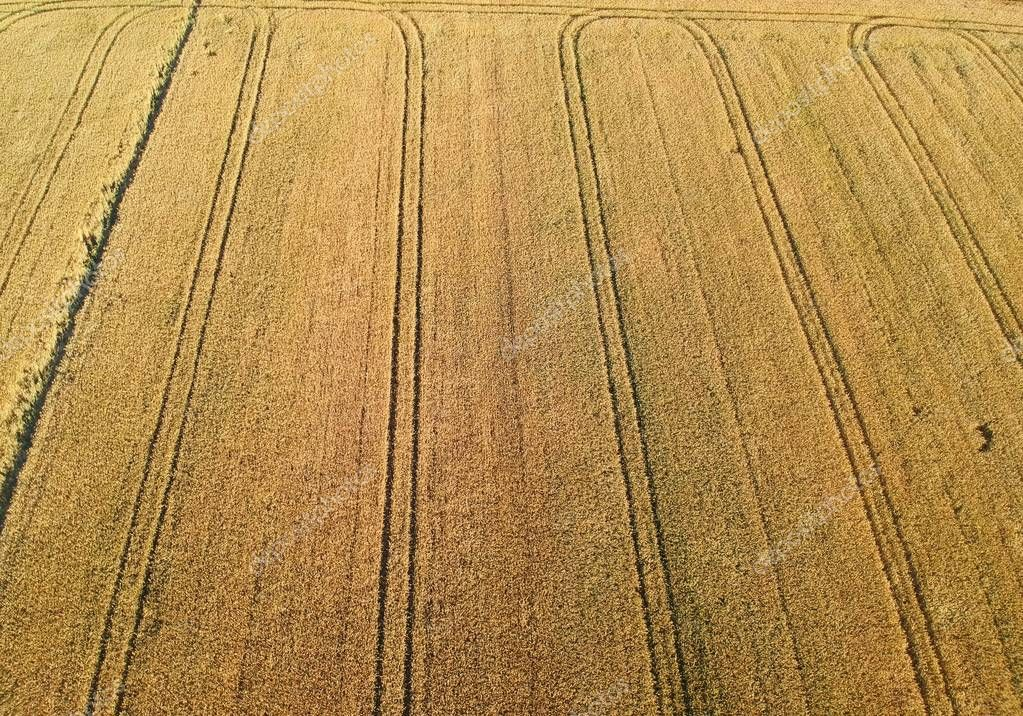 Yellow wheat fields with truck tracks, aerial view.
