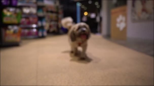 Small Shih tzu Dog walking in Pet Supermarket.