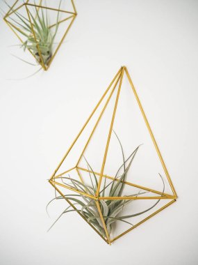 Tillandsia Pohliana air plant hanging in a golden holder on a white wall