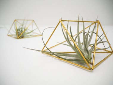 Bottom view on a Tillandsia Pohliana and Tillandsia Gardnerii air plant in a golden holder on a white wall