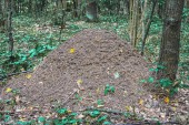 Photo Anthill in the forest.